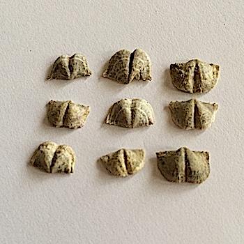 Chonetinella flemingi #296b  Salesville Shale Formation  Mineral Wells, Palo Pinto, Co., TX