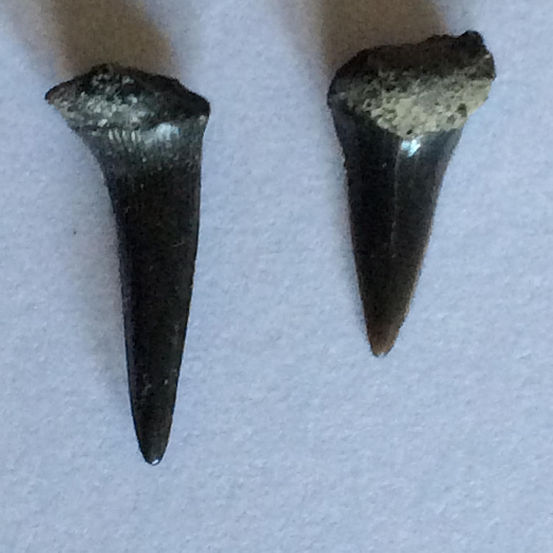 Sharks Teeth #394  Eagle Ford-Austin (Atco) Formation  Midlothian, Ellis Co., TX