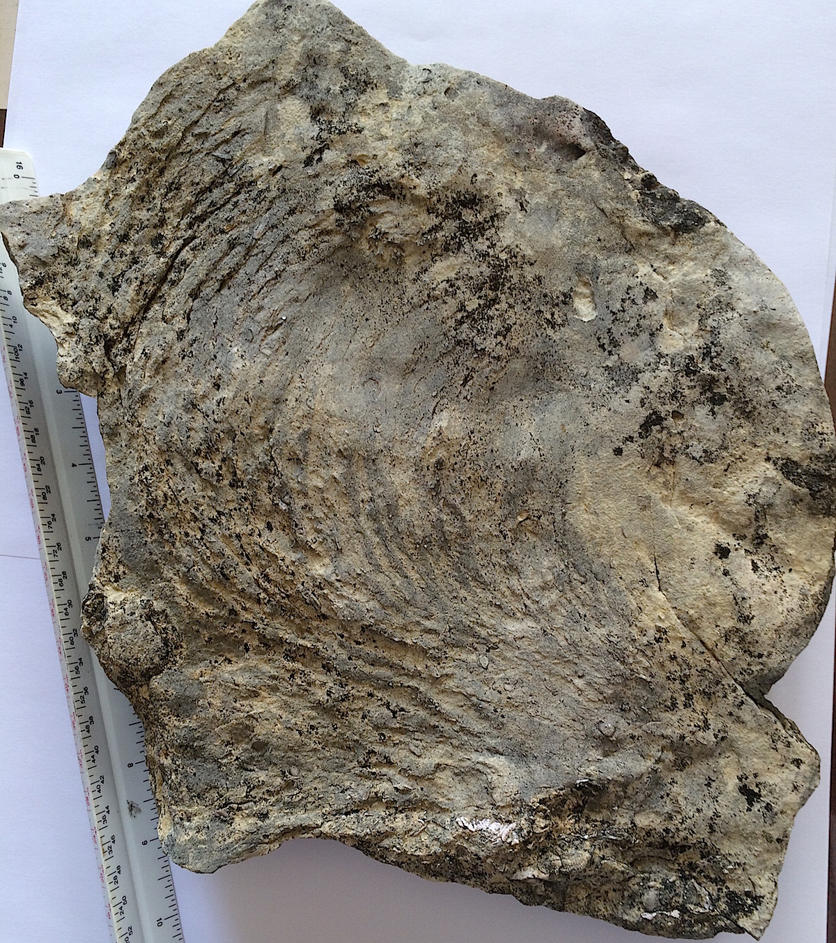 Zoophycos Trace Fossil #522  Haragan Formation,  Clarita, OK