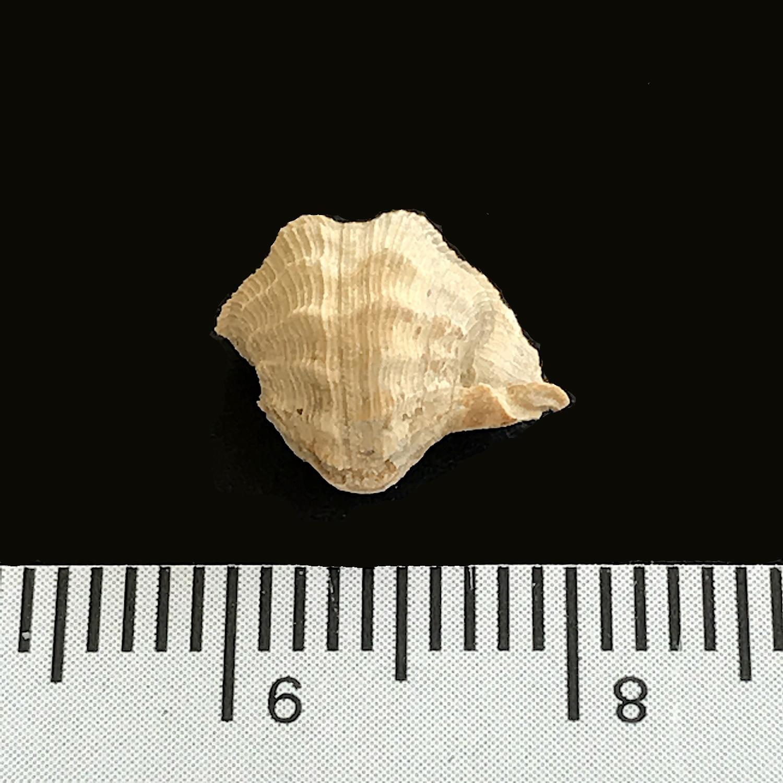 Pharkadonotus percarinatus #971a  Graham Formation (Finis Shale)  Jacksboro, Jack Co., TX