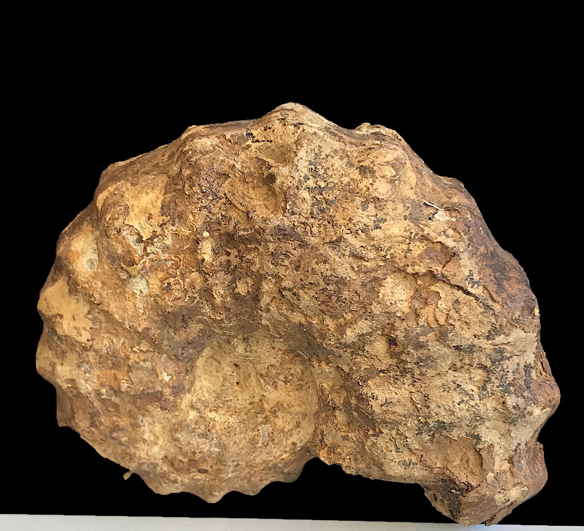 Calycoceras (Conlinoceras) tarrantense #1057  Woodbine Formation  Arlington, TX