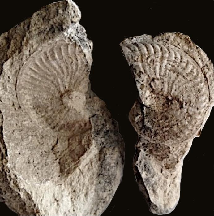 Oxytropidoceras #146  Walnut Clay Formation  Hood Co., TX