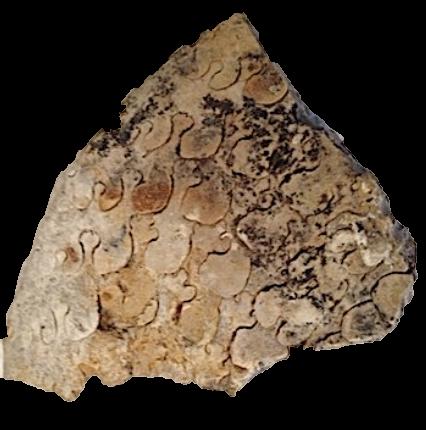 Oxytropidoceras (worn) #99  Comanche Peak Formation  Hood Co., TX