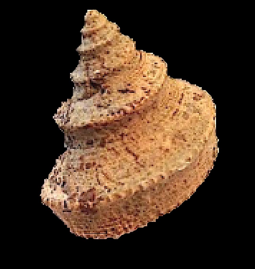 Worthenia tabulata #223  Graham Formation (Finis Shale)  Jacksboro, Jack Co., TX