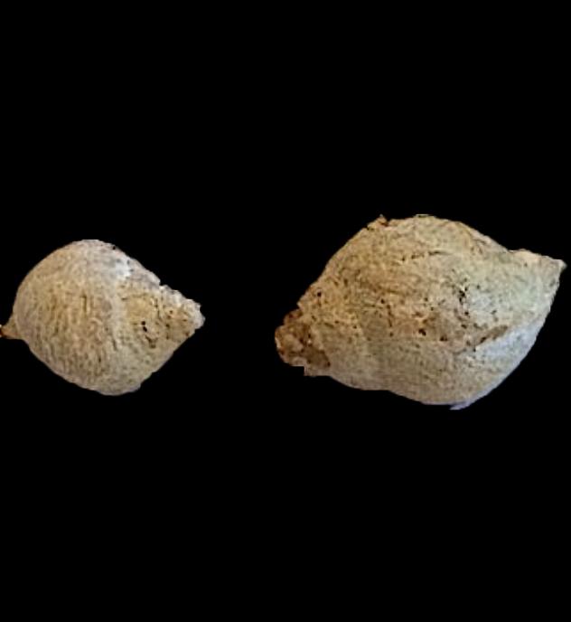 Soleniscus primigenius #253  Graham Formation (Finis Shale)  Jacksboro, Jack Co., TX
