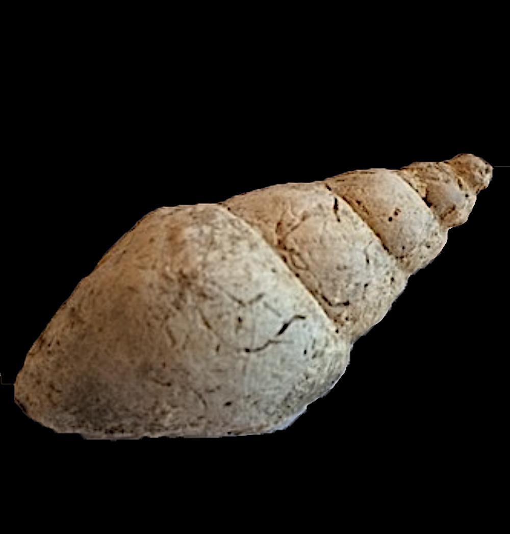 Solensicus typicus #234  Graham Formation (Finis Shale)  Jacksboro, Jack Co., TX