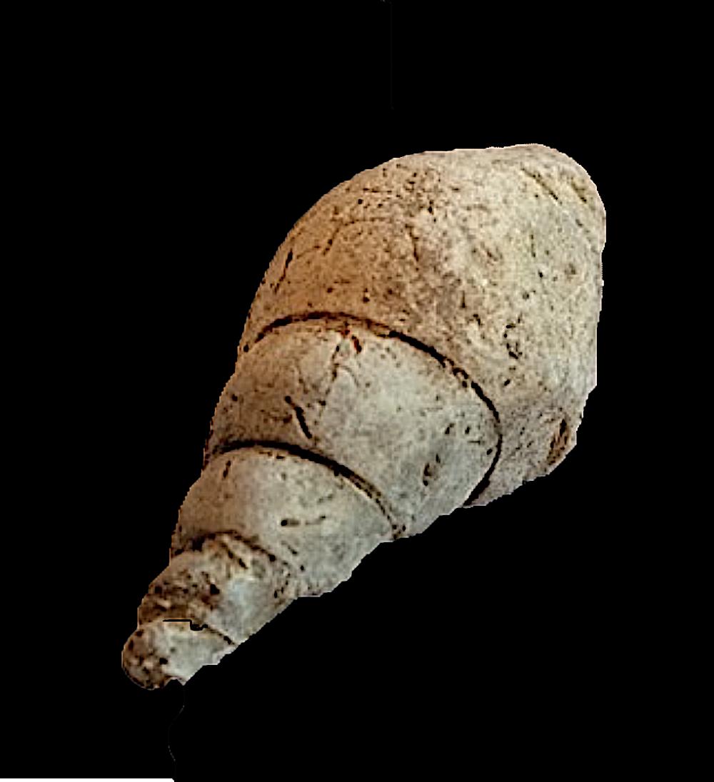 Solensicus typicus #234b  Graham Formation (Finis Shale)  Jacksboro, Jack Co., TX