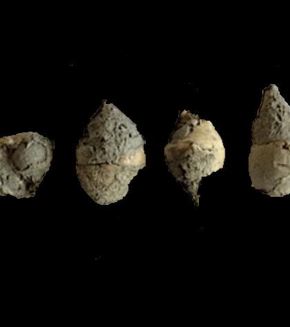 Soleniscus primigenius #336  Graham Formation (Finis Shale)  Jacksboro, Jack Co., TX