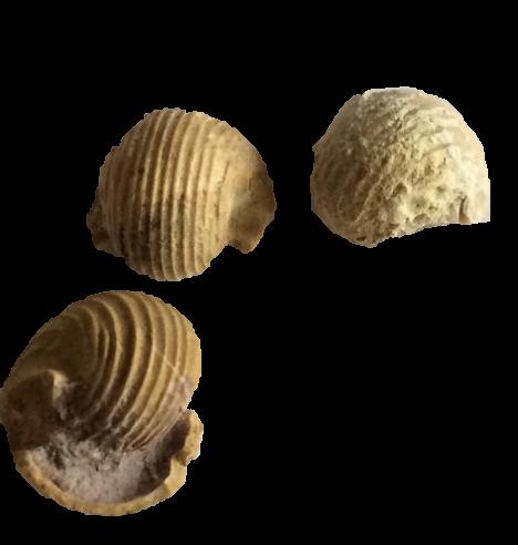Euphemites carbonarus #453  Graham Formation (Finis Shale)  Jacksboro, Jack Co., TX