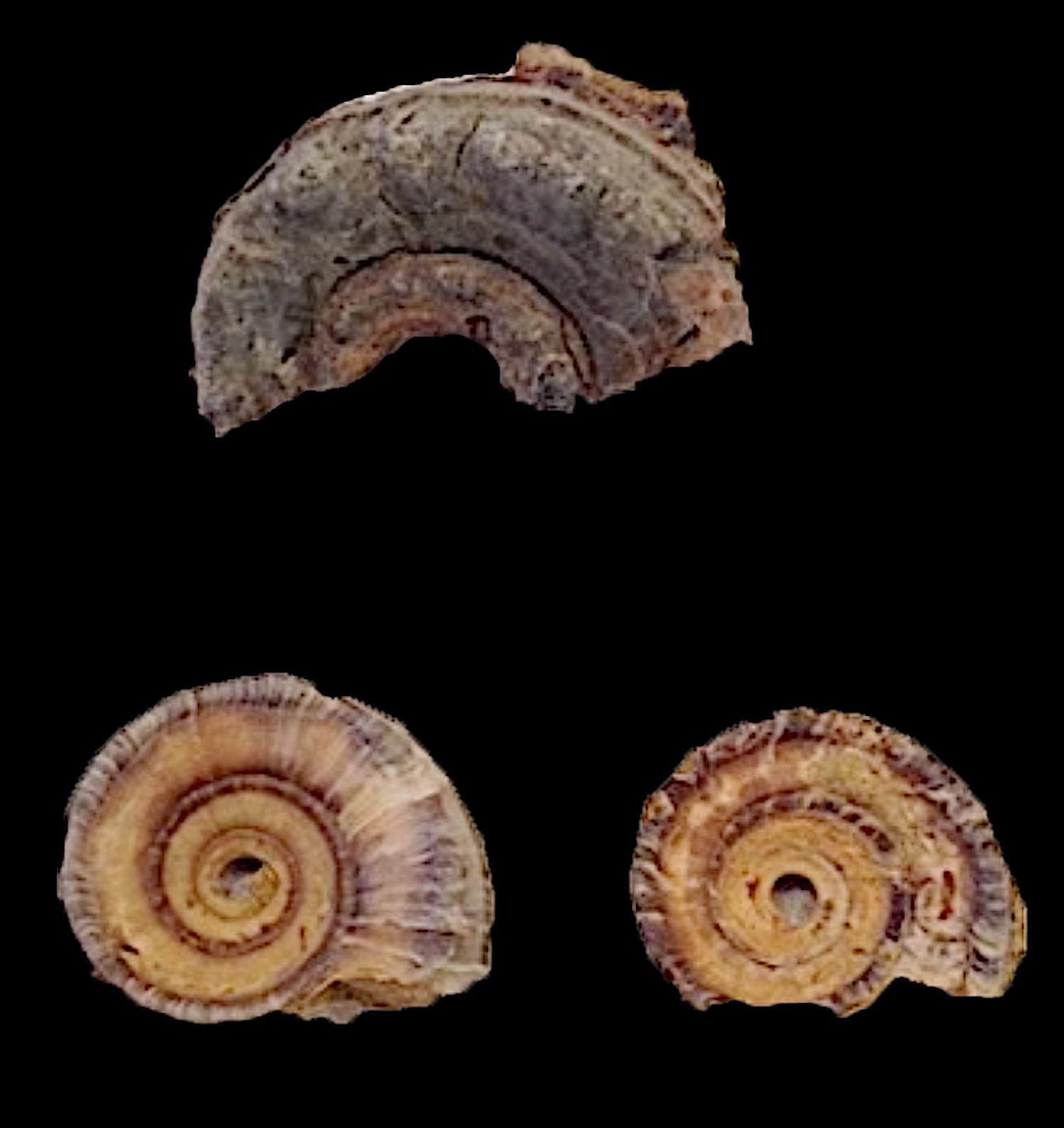 Metacoceras and 2 Amphiscapha subrugosa #264  Graham Formation (Finis Shale)  Jacksboro, Jack Co., TX
