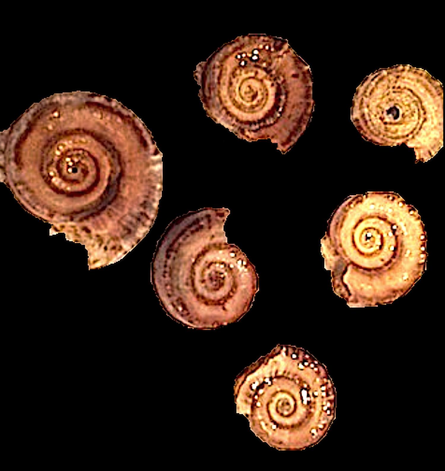 Amphiscapha subrugosa #215  Graham Formation (Finis Shale)  Jacksboro, Jack Co., TX