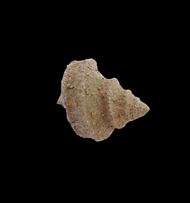 Worthenia tabulata #429  Graham Formation (Finis Shale)  Jacksboro, Jack Co., TX