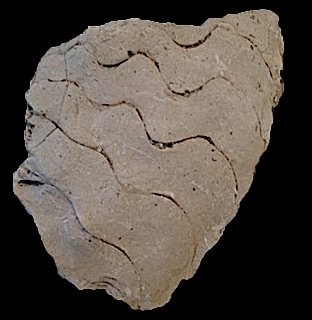 Oxytropidoceras (very worn)  Walnut Clay Formation  Hood Co., TX