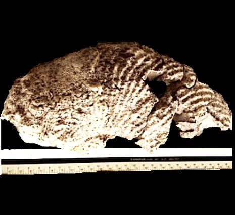 Oxytropidoceras  Walnut Clay Formation  Hood Co., TX