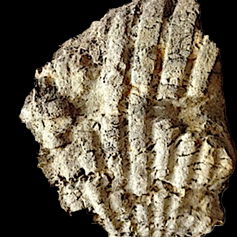 Oxytropidoceras #164  Comanche Peak Formation  Hood Co., TX