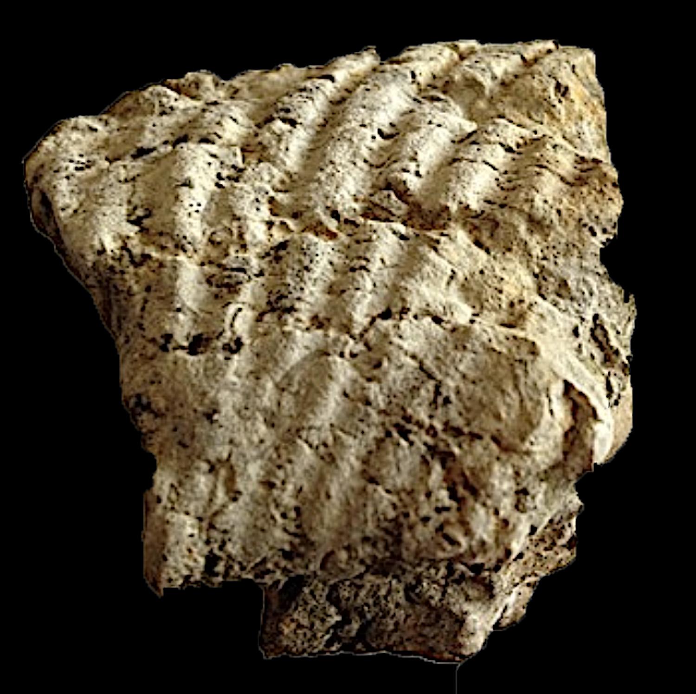 Oxytropidoceras#165  Comanche Peak Formation  Hood Co., TX