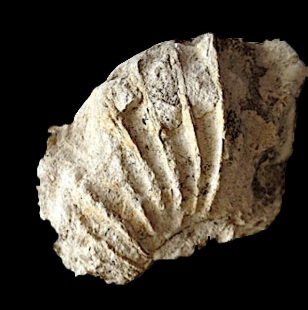 Oxytropidoceras #156  Comanche Peak Formation  Hood Co., TX