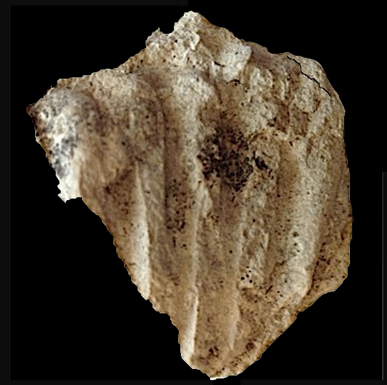 Oxytropidoceras #123  Comanche Peak Formation  Hood Co., TX