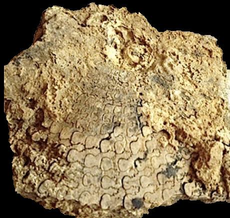 Metengonoceras dumbli  Walnut Clay Formation  Hood Co., TX