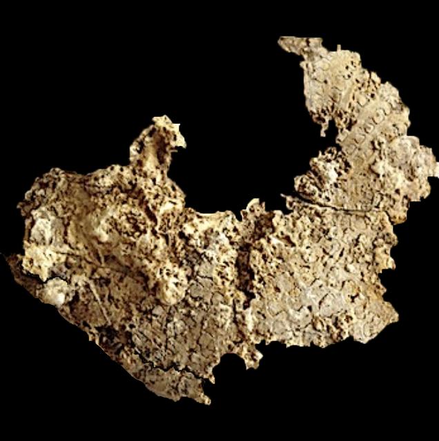 Metengonoceras  Walnut Clay Formation  Hood Co., TX