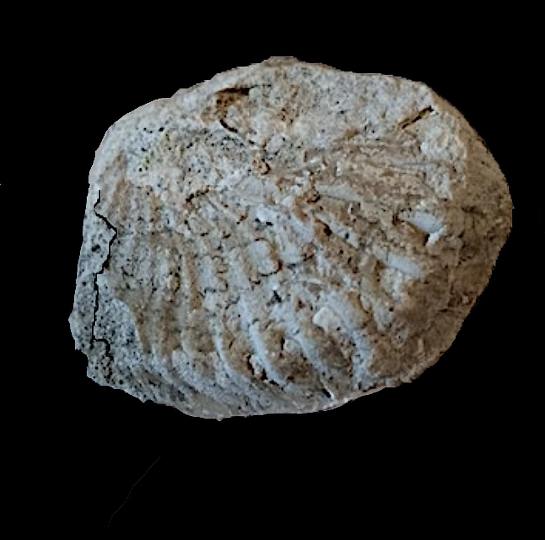 Oxytropidoceras #360  Comanche Peak Formation  Hood Co., TX