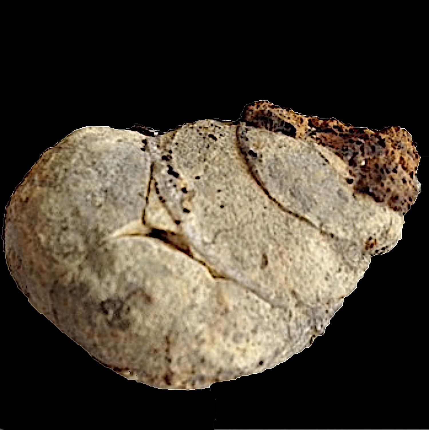 Tylostoma tumidum #119a  Comanche Peak Formation  Hood Co., TX