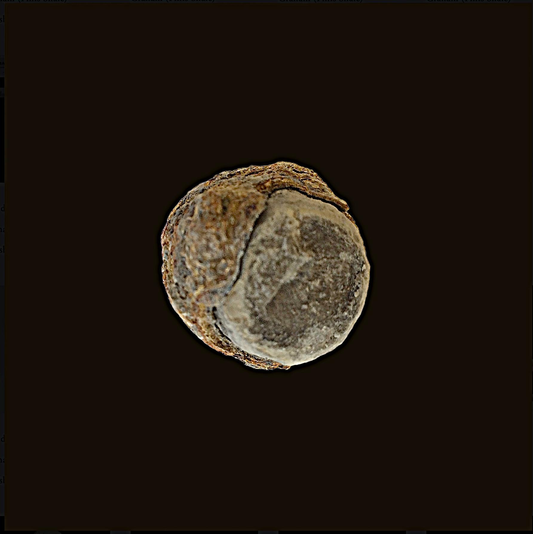 Pseudorthoceras #452  Graham (Finis Shale)  Jacksboro, Jack Co., TX