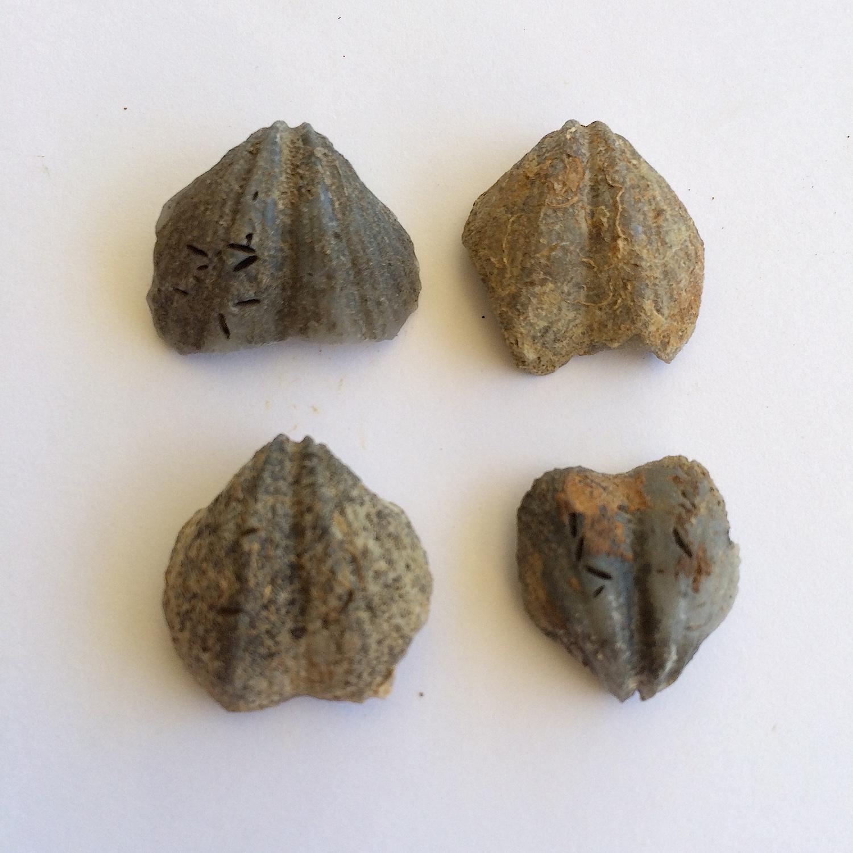 Eridmatus texanus #432  Finis Shale, Graham Formation  Jacksboro, Jack Co., TX