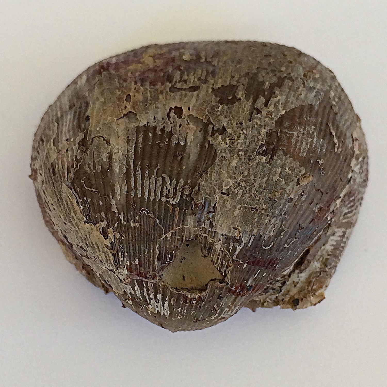 Linoproductus prattenianus #435  Finis Shale, Graham Formation  Jacksboro, Jack Co., TX