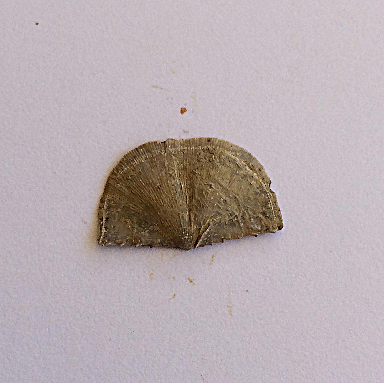 Neochonetes granulifer #433d  Finis Shale, Graham Formation  Jacksboro, Jack Co., TX