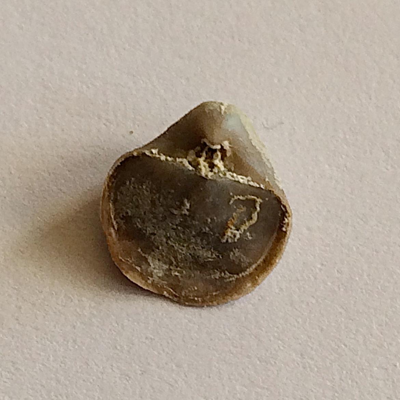 Crurithyris expansa #476  Finis Shale, Graham Formation  Bridgeport, Wise Co., TX