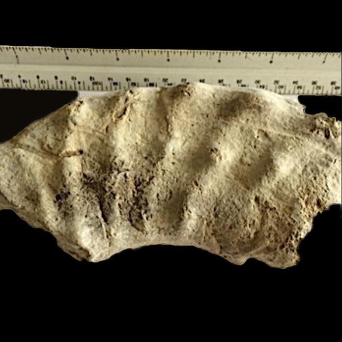 Mortoniceras #351  Duck Creek Formation  Grayson Co., TX