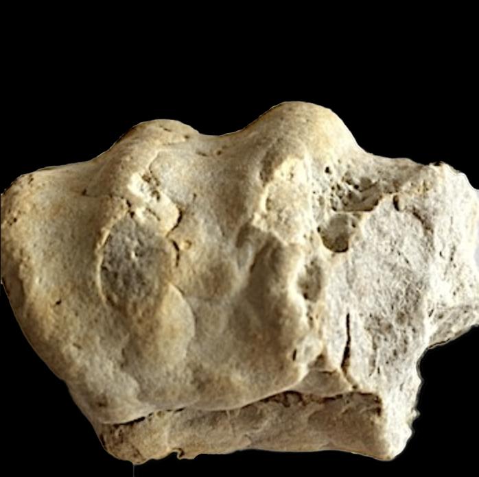 Mortoniceras #352  Duck Creek Formation  Grayson Co., TX