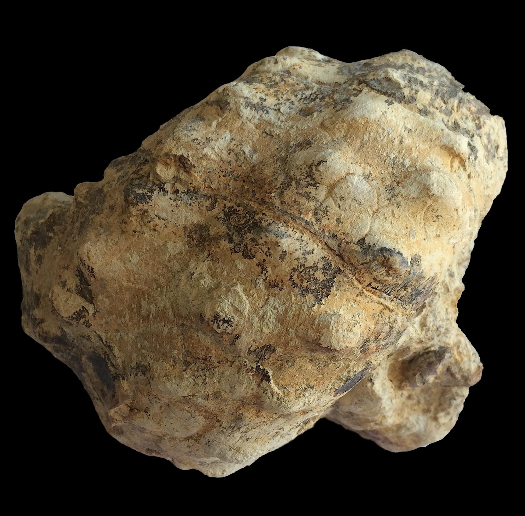 Mariella worthensis #683c  Grayson Marl Formation  Denton Co., TX