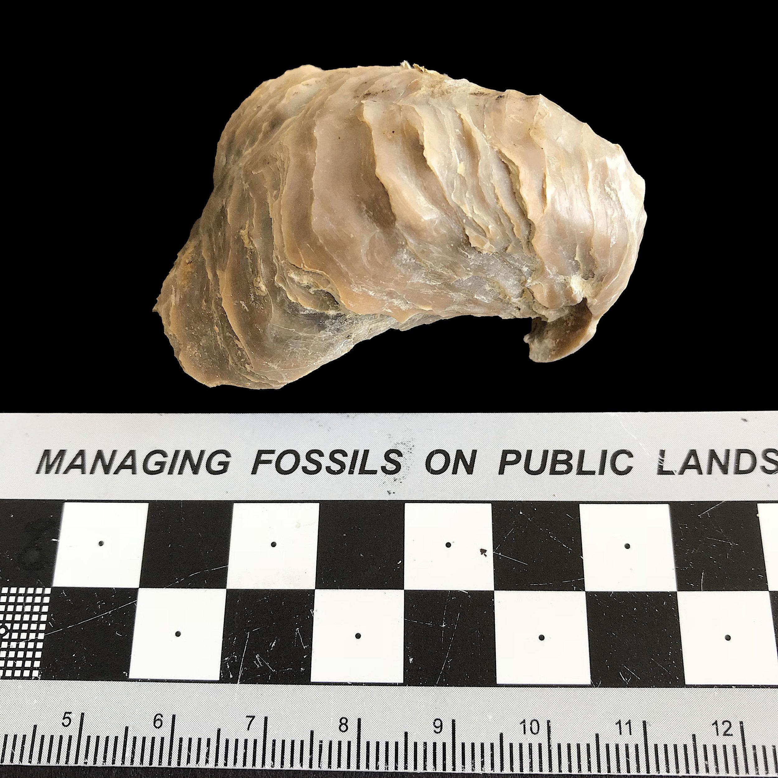 Texigryphaea romerei #1126  Grayson Marl Formation  Denton Co. , TX