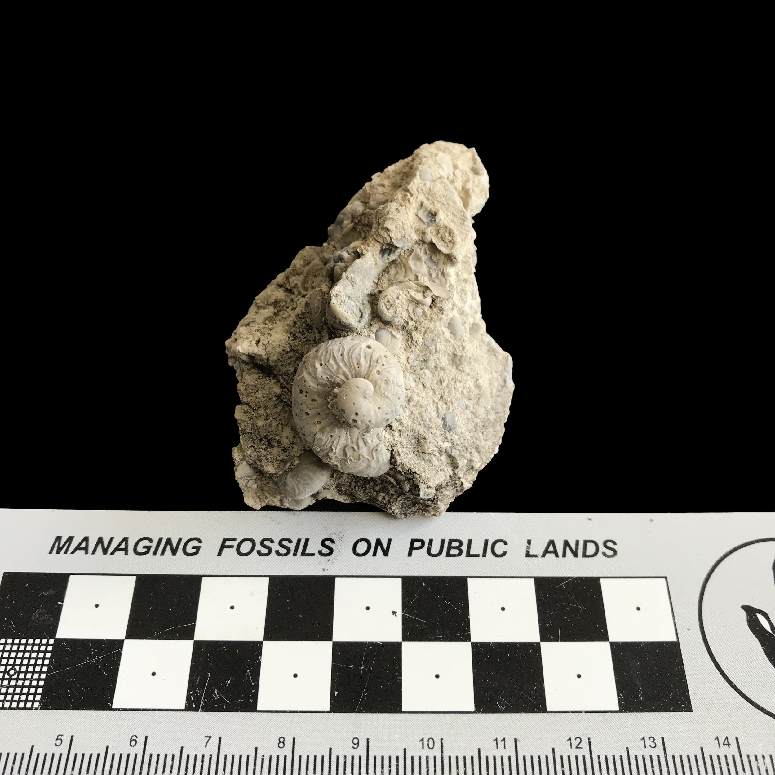 Ilymatogyra arietina #1130  Grayson Marl Formation  Denton Co., TX