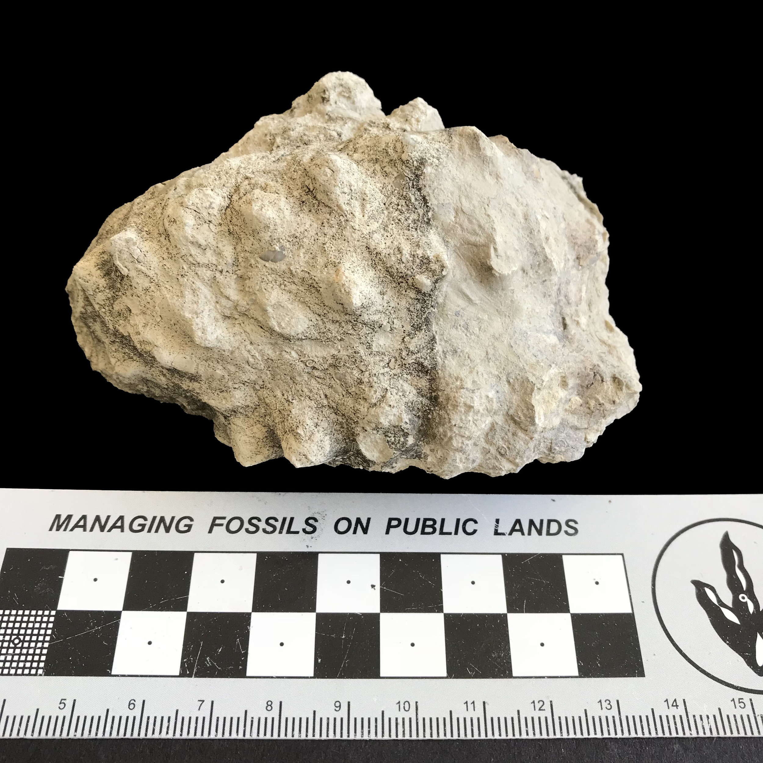 Mariella worthensis #1146f  Grayson Marl Formation  Denton, TX