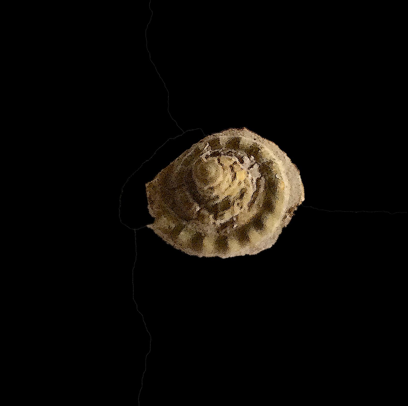 Ananias tularosaensis #454d  Graham Formation (Finis Shale)  Jacksboro, Jack Co., TX