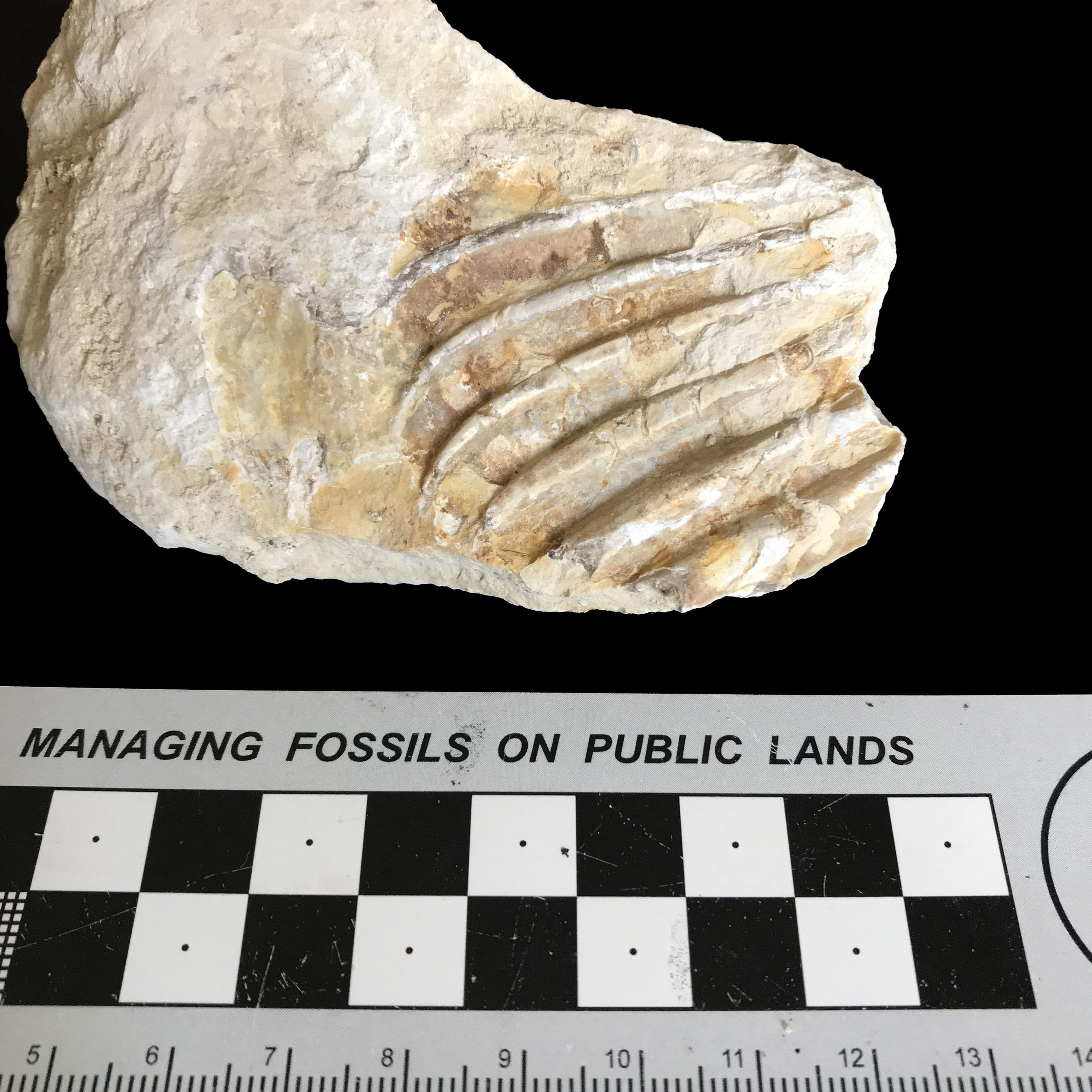 Oxitropidoceras sp. #  Goodland Formation  Valley Mills, TX