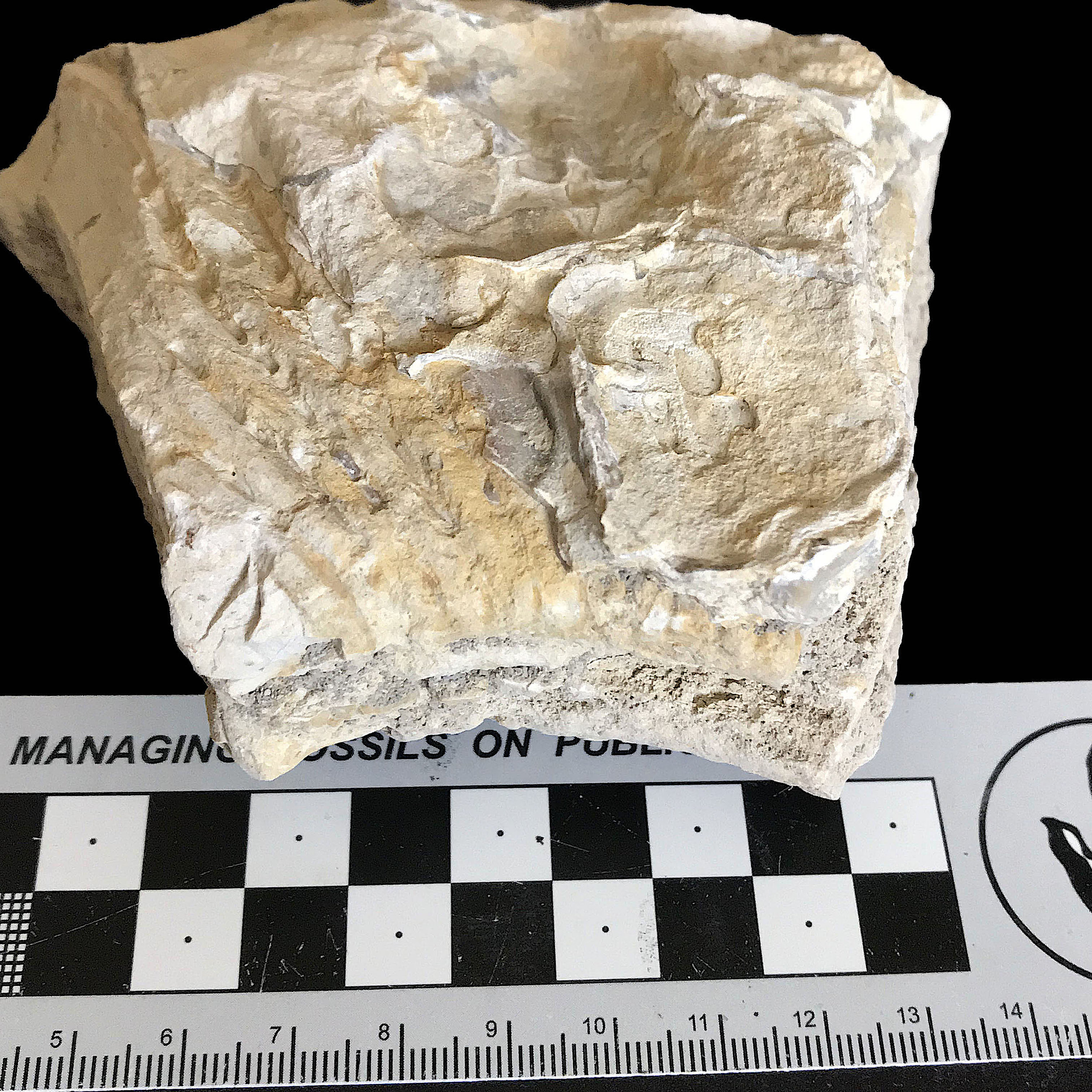 Oxytropidoceras #  Goodland Formation  Valley Mills, TX