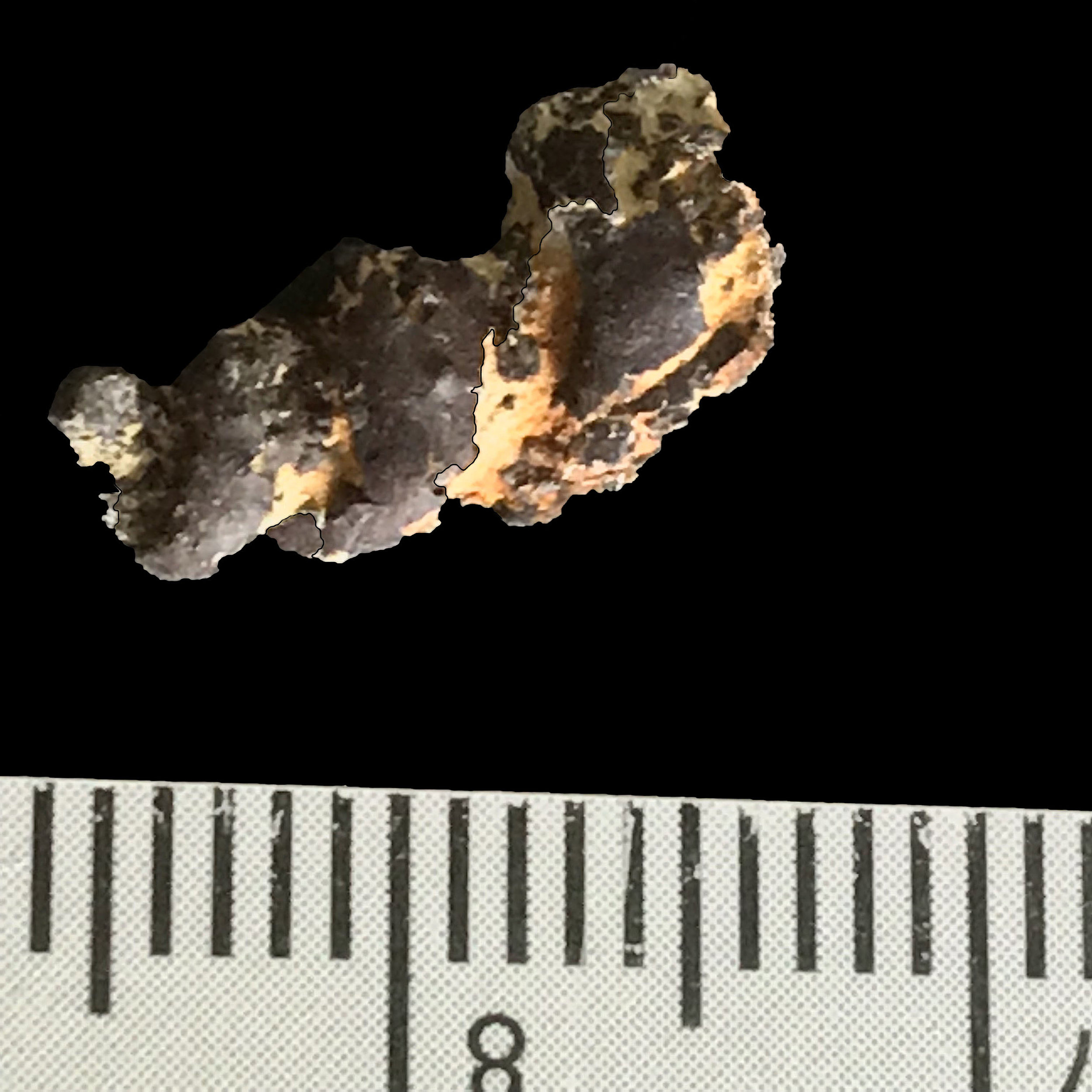 Pyritized Mariella sp. #  Del Rio Formation  Waco, TX