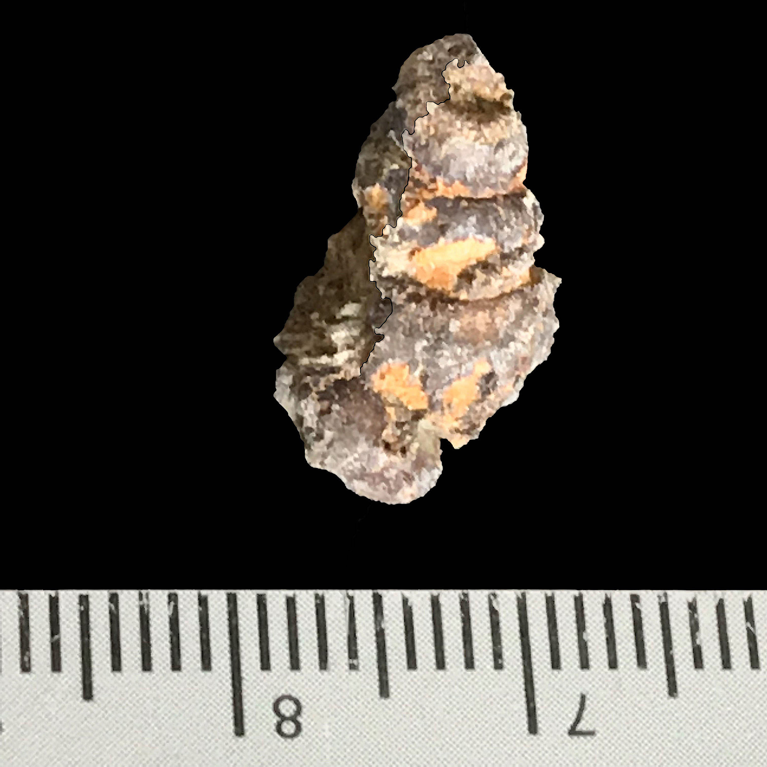 Pyritized Mariella sp.  Del Rio Formation  Waco, TX