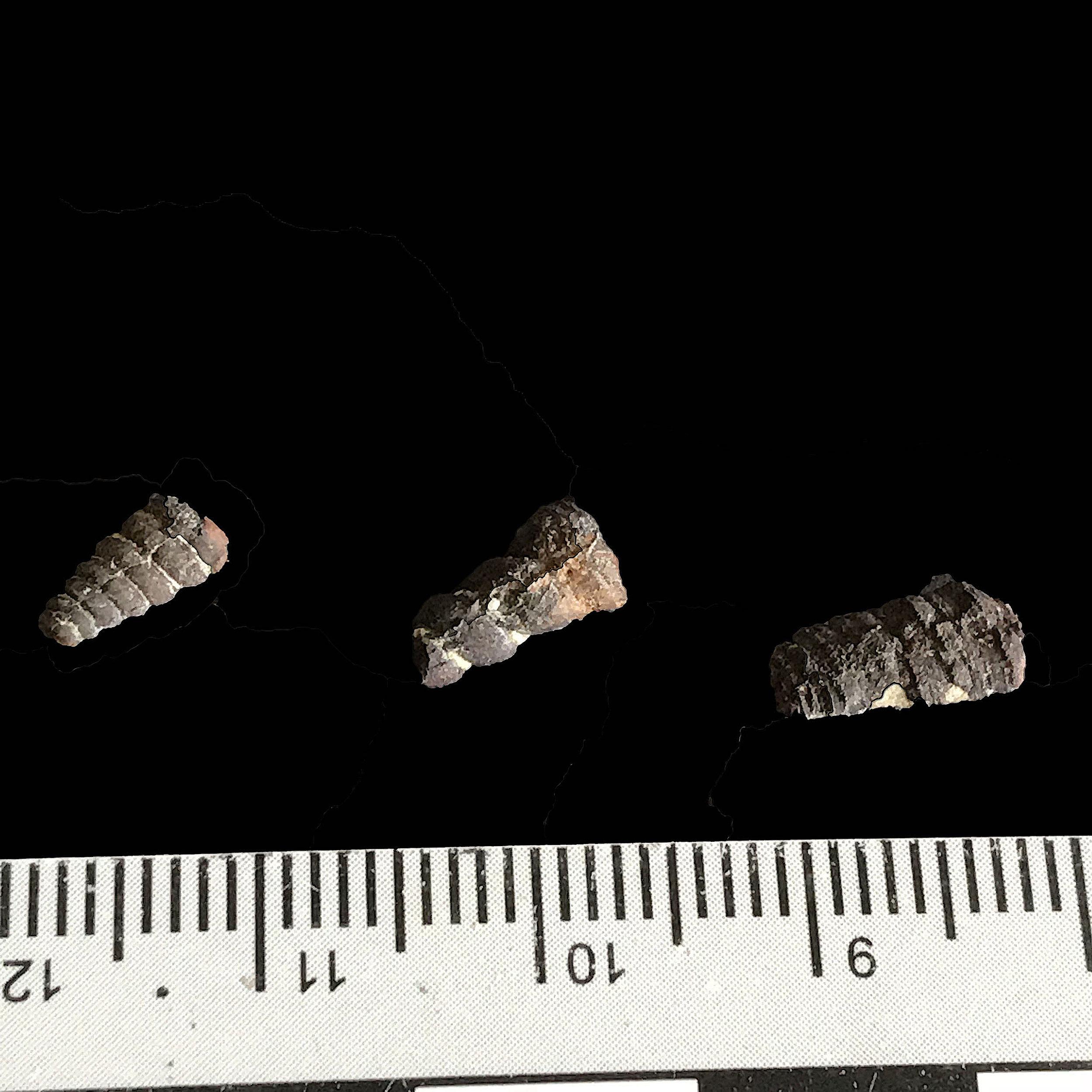 Pyritized Turritella sp. #  Del Rio Formation  Waco, TX