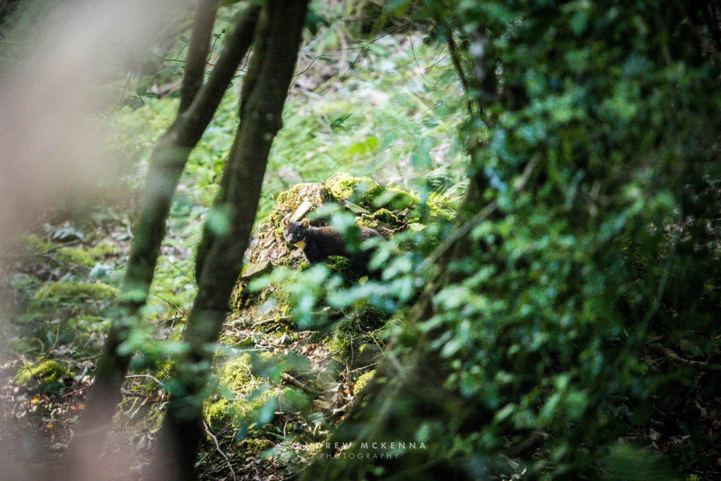 The Pine Marten, Tollymore Forest Park Northern Ireland. Andrew Mckenna Photography