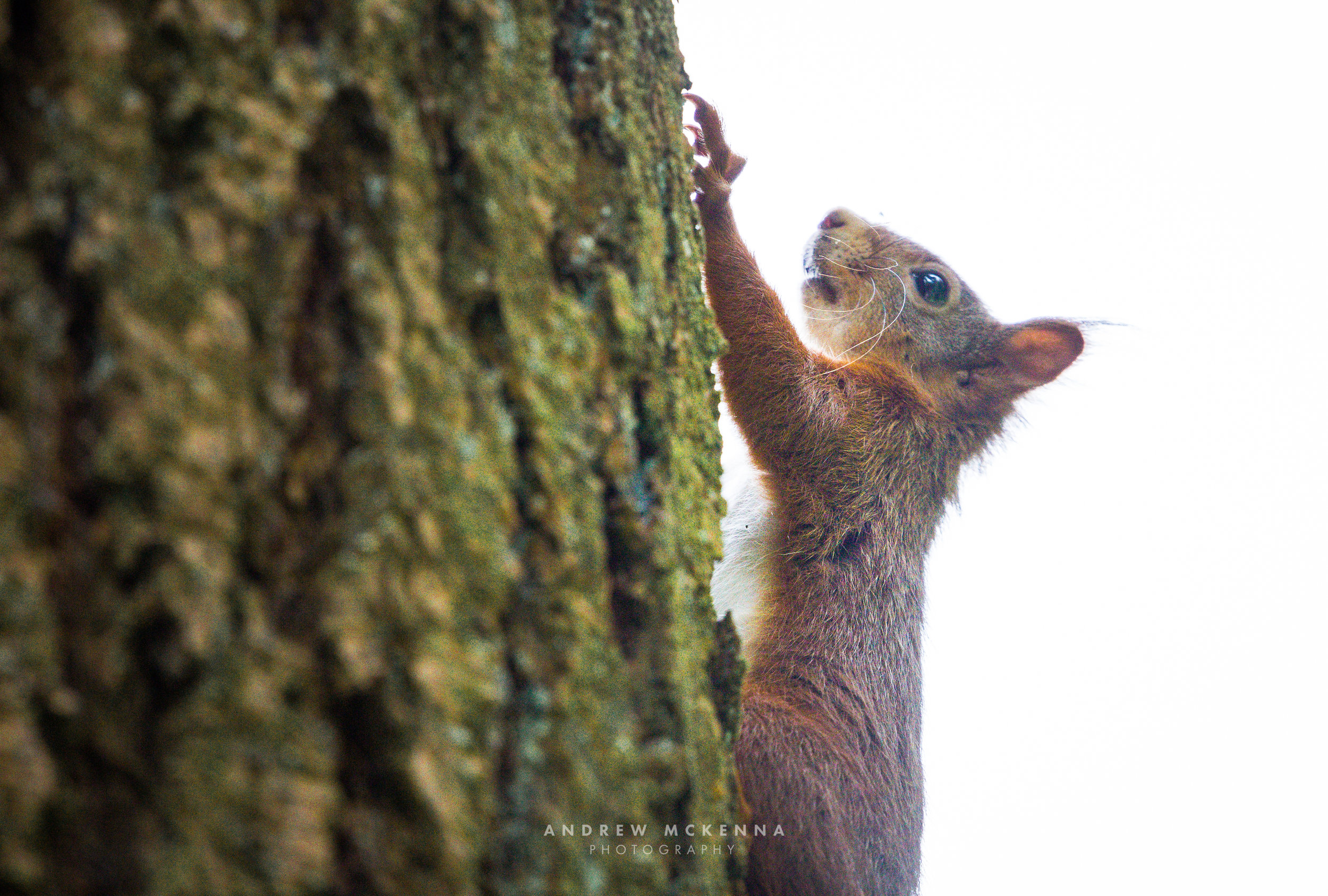 The Red Squirrel Tollymore Forest Park Northern Ireland.