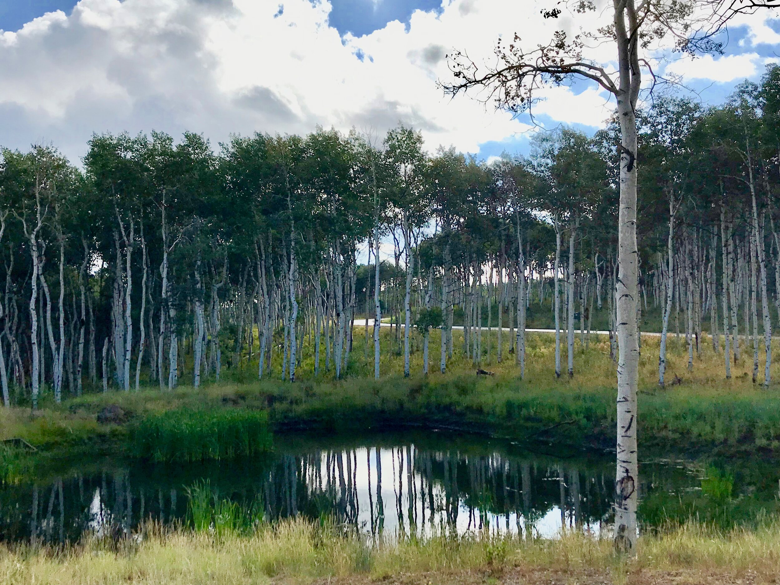 A pond and stand of aspens near Chris's home