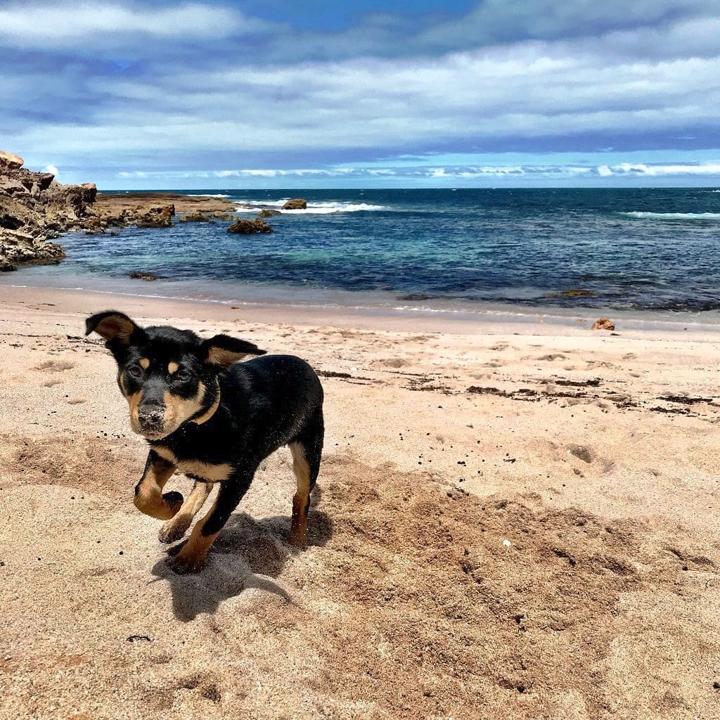Pet friendly : dog friendly camping : accommodation at Coodlie Park Farm Retreat, South Australia.jpg