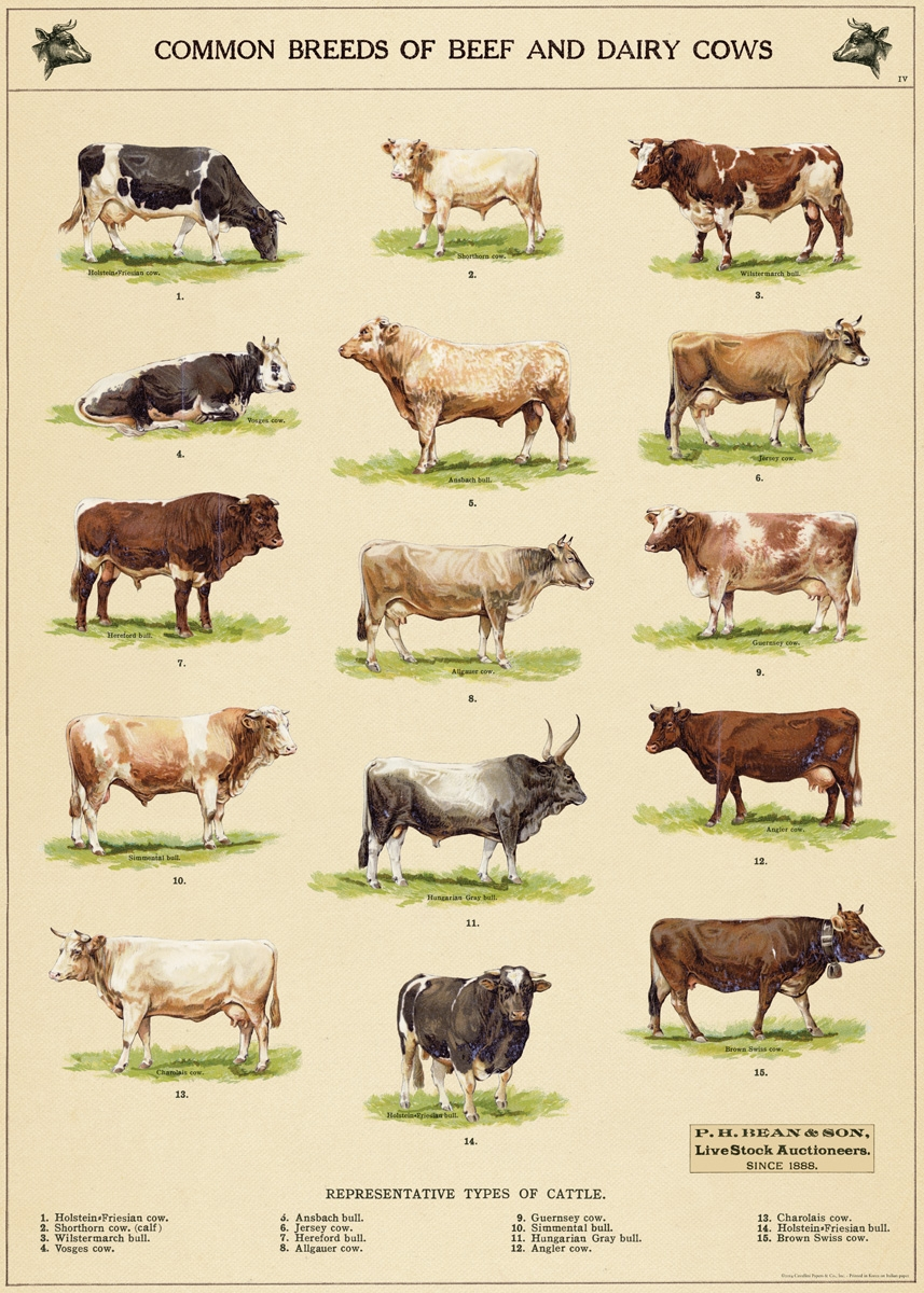 Cow Chart Wrap