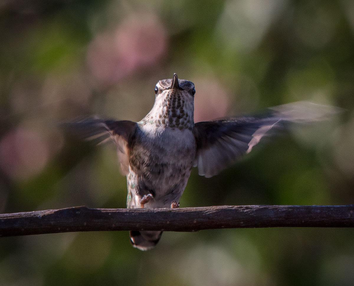 Hummingbird9947.jpg