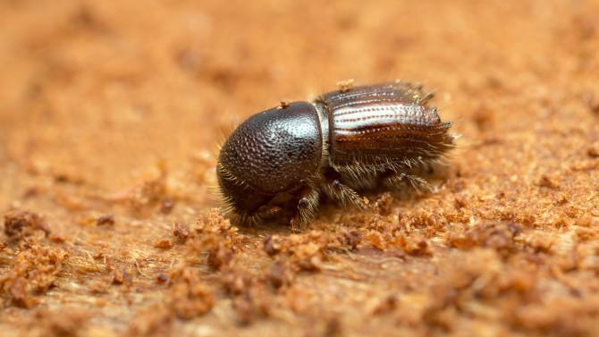 Bark Beetle_beetle.jpg
